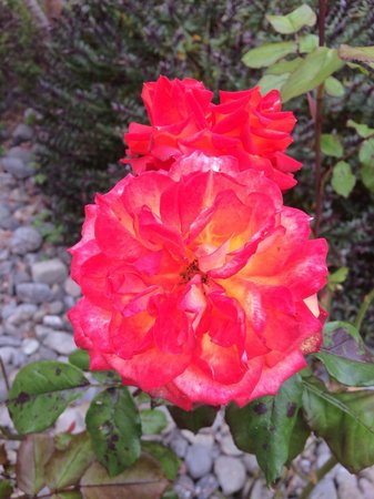 Quality Inn & Suites Redwood Coast : Beautiful rose from the many rose bushes around the grounds!