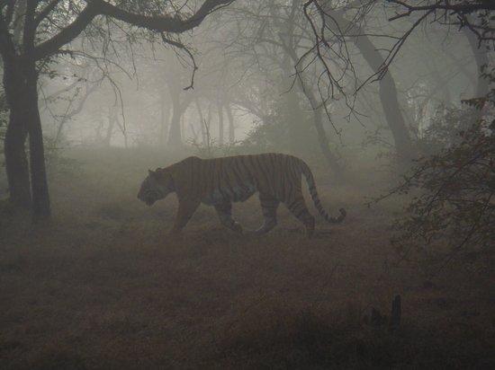 Ranthambore National Park - Tigre