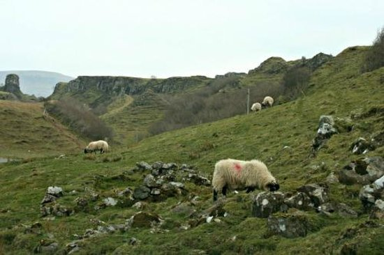 Fairy Glen : Sheep, or Course!