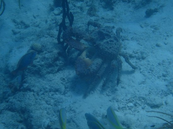 Coki Dive Center: Crab