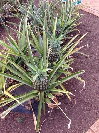 Dole Plantation: pineapple plants