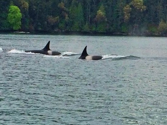 Eagle Wing Whale Watching Tours: Transient Orcas