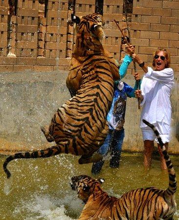 Tiger Temple ( Wat Pa luang Ta Bua) : Look at that kitty jump!