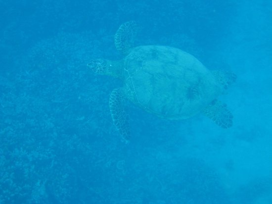 Molokai Fish & Dive Center: turtle