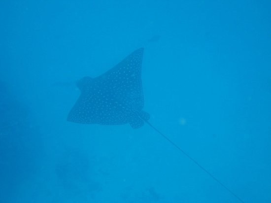 Spotted Eagle Ray Picture Of Molokai Fish Dive Center
