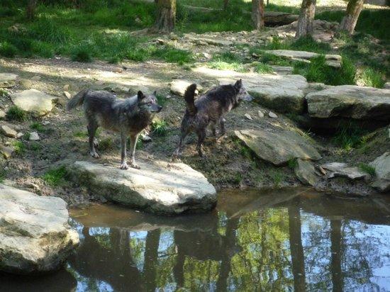 Parc Animalier de Sainte-Croix - Hébergements : meute loup noir