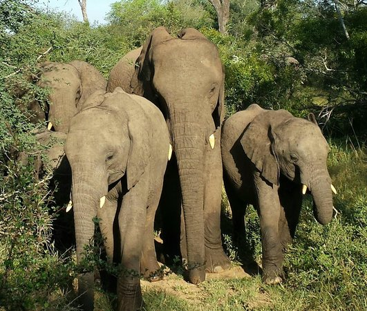 Thornybush Game Lodge: Elephants