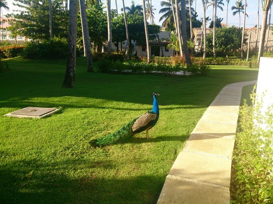 Vista Sol Punta Cana: Красавец павлин гуляет по территории