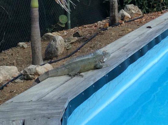 Windsock Apartments & Beach : Onze grote vriend die iedere dag het zwembad opeiste ;)