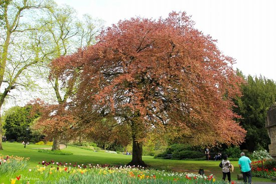 Museum Gardens: the red tree