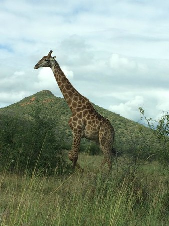 Our first encounter.  On the drive from Madikwe reserve gate to Tau Game Lodge.