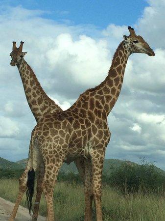 Tau Game Lodge: Early morning giraffe