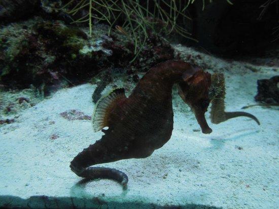 Shedd Aquarium : hippocampe