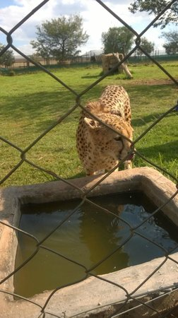 Rhino and Lion Nature Reserve: Cheetah Interaction