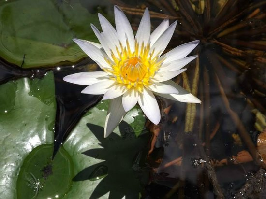 Hollis Garden: Water Lily