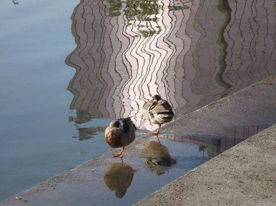 Lake Mirror: Ducks at Mirror Lake