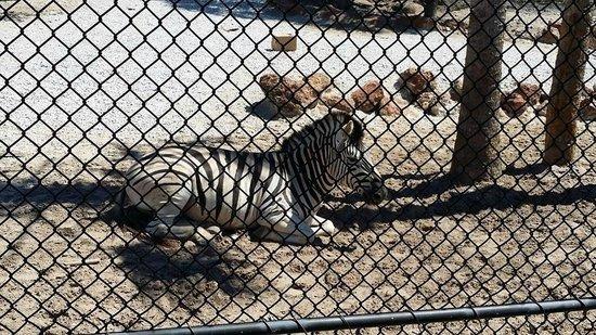 Naples Zoo at Caribbean Gardens : Zebras
