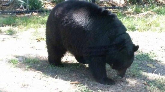 Naples Zoo at Caribbean Gardens: Black Bears