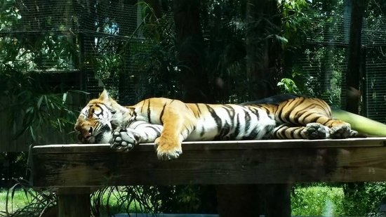 Naples Zoo at Caribbean Gardens: Sleeping tiger