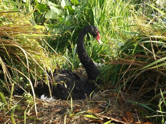 Lake Morton : Black Swan Nesting