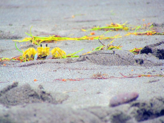Jade Mountain Resort : Yellow crabs on the beach. They're terrified of people and won't bother you. Fun to watch.
