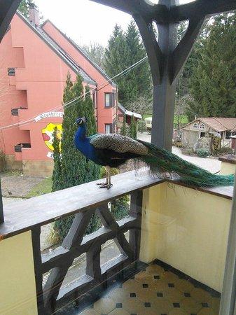 Dammenmuhle Landhotel : Балкон одного из номеров с прилетевшим пообщаться павлином :)