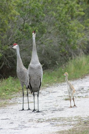 A family of sandhill cranes unhappy that I was in their path
