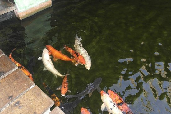 Iberostar Tucan Hotel: Lovely fishes in the ponds