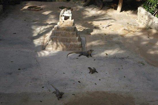 Iberostar Tucan Hotel: Iguanas and turtles were fun to watch