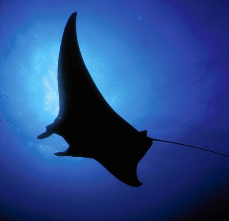 Pantai Teluk Texas, TX: Manta ray (E. Hickerson, Flower Garden Banks National Marine Sanctuary, NOAA)