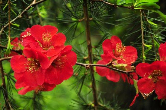 Arboretum Trompenburg: Цветет японская айва
