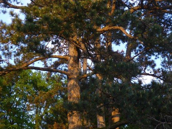 Cedre et Charme: Les grands pins lumière du soir