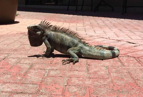 The Westin St. John Resort: Iguana