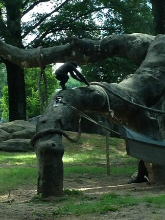 Zoo Atlanta: Great Gorilla habitat