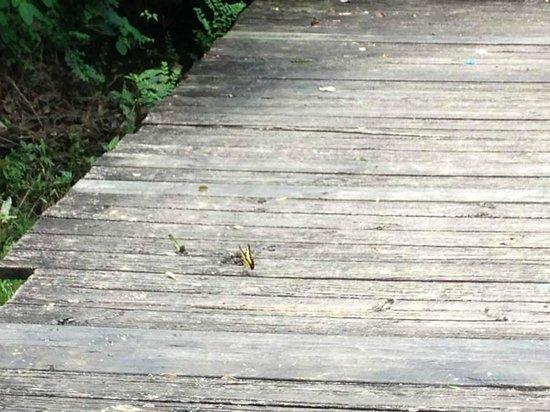 Chattahoochee Nature Center : Butterfly drinking poop.