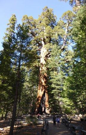 Mariposa Grove of Giant Sequoias: Sequoia tree