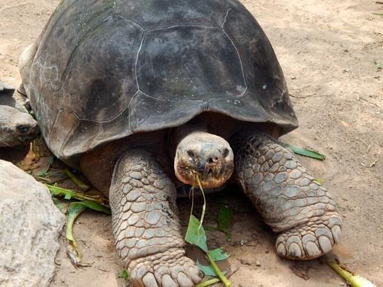 Bermuda Aquarium, Natural History Museum & Zoo: giant galapagos tortoise