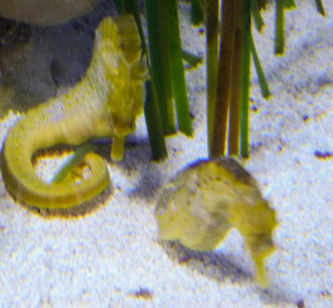 Arizona-Sonora Desert Museum : Seahorses in aquarium.