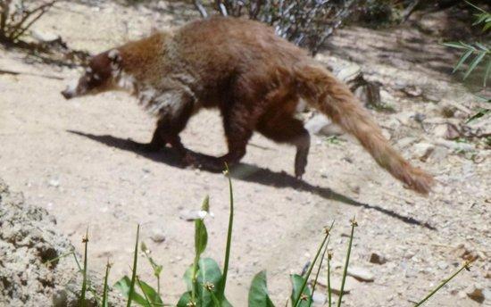 Arizona-Sonora Desert Museum : Coati from South America