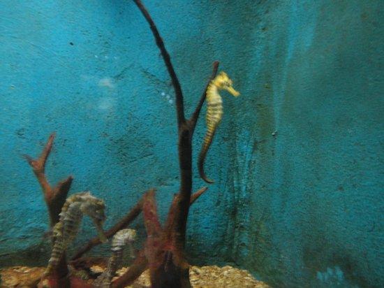 Aracaju Aquarium - Tamar: Aquário com cavalos marinhos