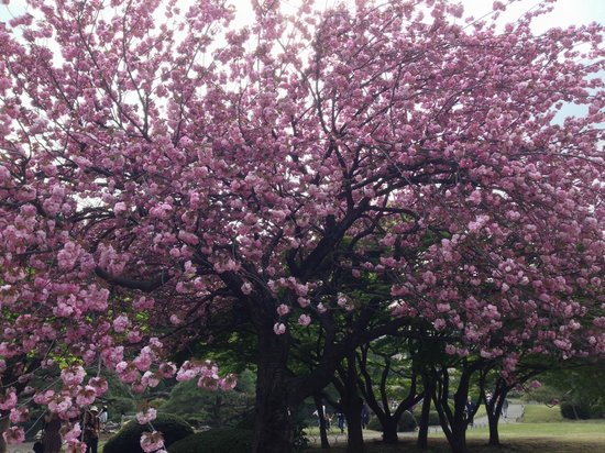 Shinjuku Gyoen National Garden: Cherry Blossom at Shinjuku Gyoen