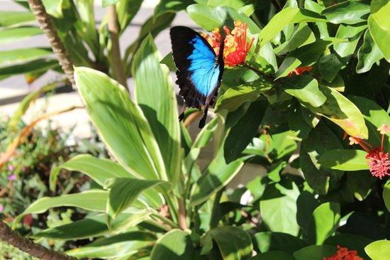 Daintree Rainforest: Ulysses butterfly