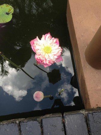Anantara Bophut Koh Samui Resort : Lotus pond