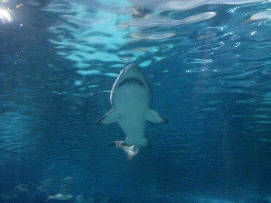 Ripley's Aquarium of the Smokies: Lots of sharks