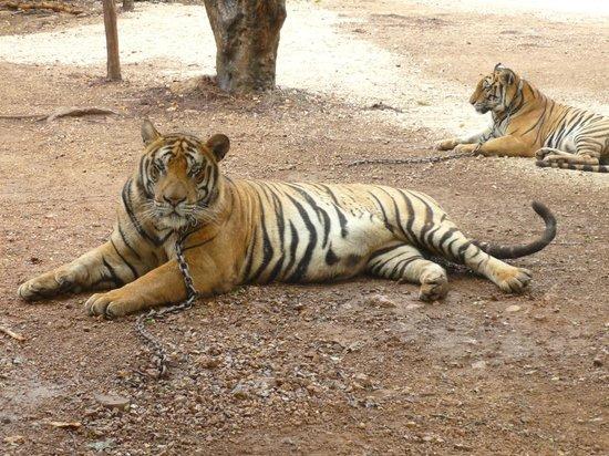 Tiger Temple ( Wat Pa luang Ta Bua) : Tiger, Tiger.