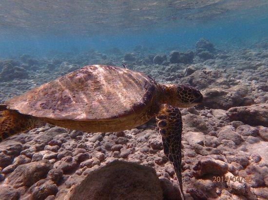 Hanauma Bay Nature Preserve : 泳ぐホヌくん