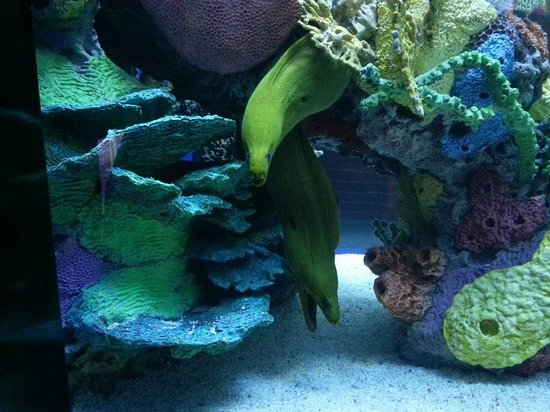 Ripley's Aquarium of the Smokies: eels at the slime exhibit, they reminded me of the little mermaid