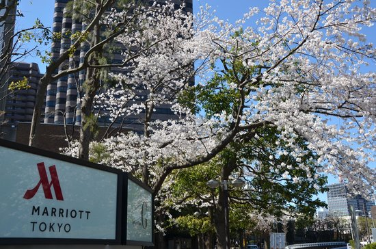 Tokyo Marriott Hotel : Cherry Blossoms in full bloom