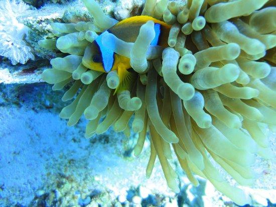 Ahlan Aqaba Scuba Diving Centre: Red Sea anemone fish