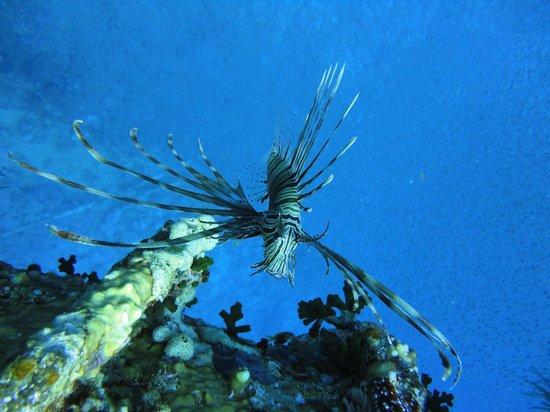 Ahlan Aqaba Scuba Diving Centre: Lion Fish
